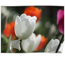 Multicolored tulips Poster