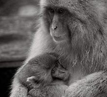 I just needed a hug. Snow Monkeys by Norman Repacholi