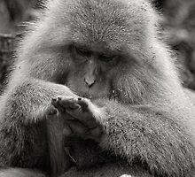 I think I need a manicure. Snow Monkeys by Norman Repacholi
