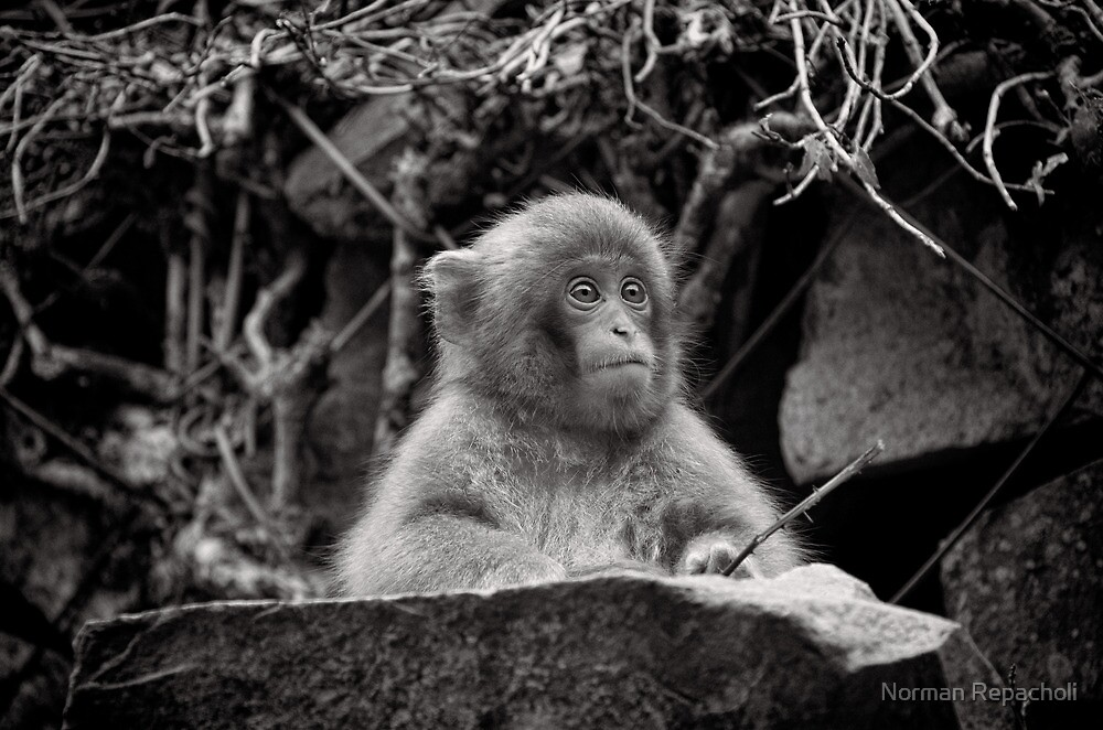 The diligent student. Snow Monkeys by Norman Repacholi