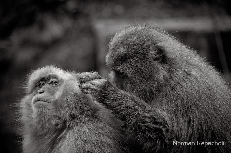 Five more fleas...err, I mean minutes! Snow Monkeys by Norman Repacholi