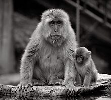 Watch and learn little one. Snow Monkeys by Norman Repacholi