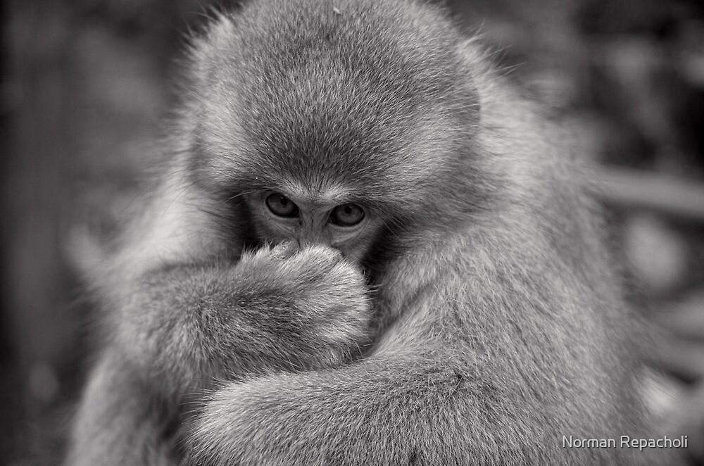 Something smells funny. Snow Monkeys by Norman Repacholi