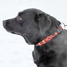 black Labrador by mrivserg