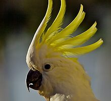 Australian Sulphur Crested Cockatoo #4. by johnrf