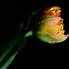 Easter Tulip by janrique