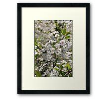 flowering cherry     Framed Print