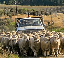 moving sheep  by Anne Scantlebury