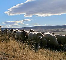sheep by Anne Scantlebury