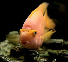 parrot fish     by mrivserg