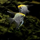 fish angelfish     by mrivserg