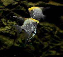 fish angelfish     by mrivserg
