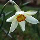 A little wild Narcissus by ienemien