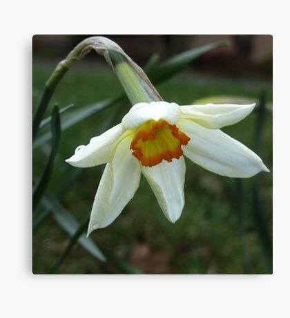 A little wild Narcissus Canvas Print