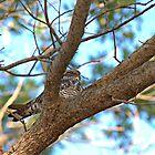 Bird Nap (Whip-poor-will) by Glenn Cecero