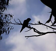 Parrot Silhouette at Yarra Bend Park, Melbourne, Australia by SophiaDeLuna