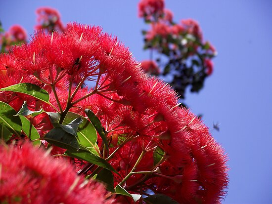 Flowering Gum by SophiaDeLuna