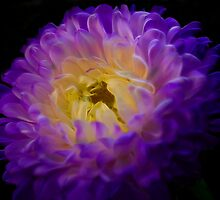 Purple Mum 2 by photoworksbyjd