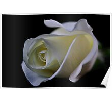 White Rose Bud Poster
