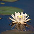 Water Lily by BrianDawson