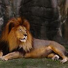 Lion at Rest by photoworksbyjd
