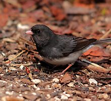 Dark Eyed Junco by Larry Trupp