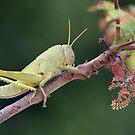 Immature Grasshopper by Glynn May