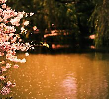 Catching the Light - Spring Cherry Blossoms  by Vivienne Gucwa