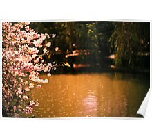 Catching the Light - Spring Cherry Blossoms  Poster