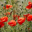 Poppy Field in North Wales by AnnDixon