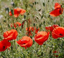 Poppy Field in North Wales by AnnDixon