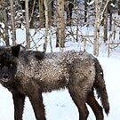 Wolf of Kananaskis by Justin Atkins