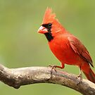 My favorite Cardinal by Gregg Williams