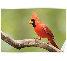 My favorite Cardinal Poster
