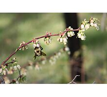 Beeing There - Blueberries Photographic Print