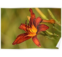 Lily after rain Poster