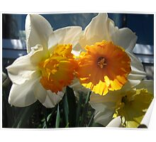 Glorious Daffodils Poster