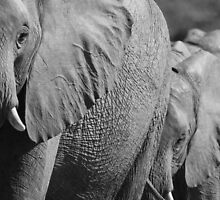 Focused on the matriach by Explorations Africa Dan MacKenzie