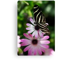 Zebra Longwing on a Daisy  Canvas Print