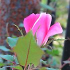 One Pink Rose by Cynthia48