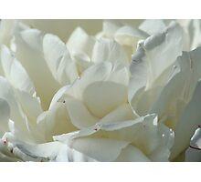 Double White Tulip Photographic Print
