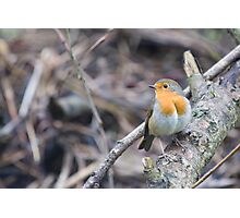 Robin keeps warm in winter Photographic Print