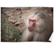 Alpha male baboon Poster