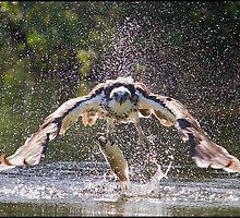 Osprey 417 by John Van-Den-Broeke