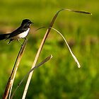 Willie Wagtail (Rhipidura leucophrys) by Jaxybelle