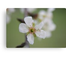 Cherry Blossom time..... Canvas Print