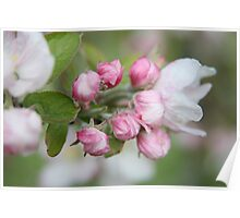 Apple blossom time .... Poster