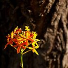 Crucifix Orchid Epidendrum ibaguense 2 by Jaxybelle