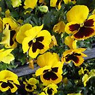 Pansies by marilyn diaz