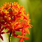 Crucifix Orchid Epidendrum ibaguense 3 by Jaxybelle